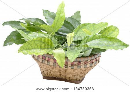 Bai-ya-nang (Thai name) (Tiliacora triandra) in bamboo basket. Thai herb.Thai food