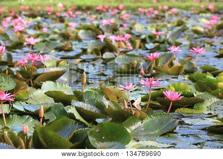 Water Lily flowers and buds,beautiful pink flowers and buds blooming in the pond in summer