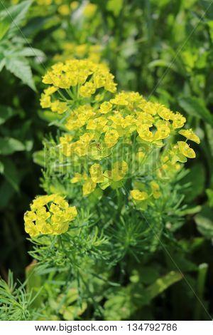 Spurge (Euphorbia) - perennial ornamental plant poisonous
