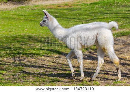 White llama (Lama glama) cria is walking