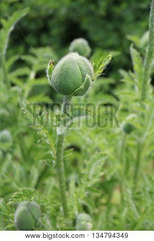 Poppy (Papaver) - a decorative garden plant opium
