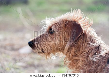 Close-Up Of wire haired dachshund. Pet dog looking away