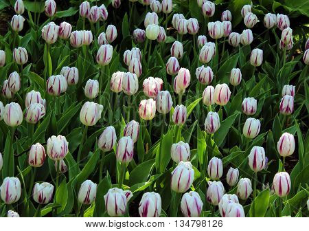 Tulips Tulipa in sping garden in Gatchina park