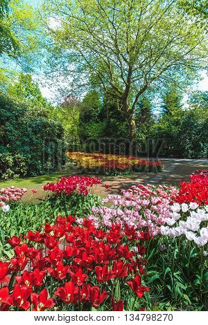 The tulip field in Keukenhof flower garden, Lisse, Netherlands, Holland