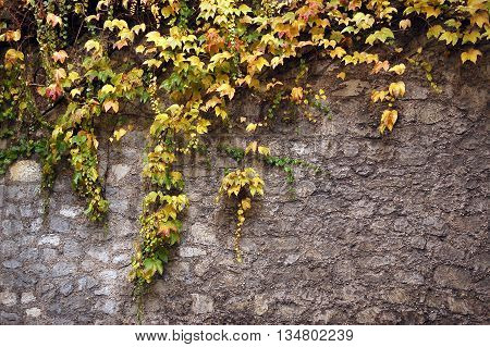 Closeup of stone wall covered with climbing vine branches