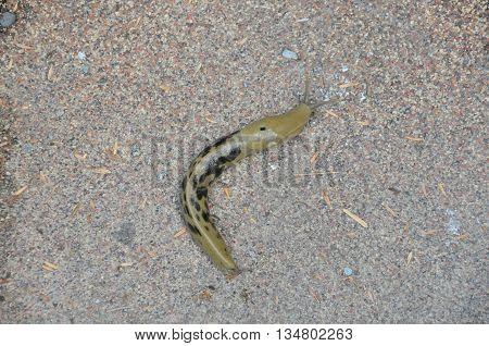 A large Alaskan banana slug on the street.