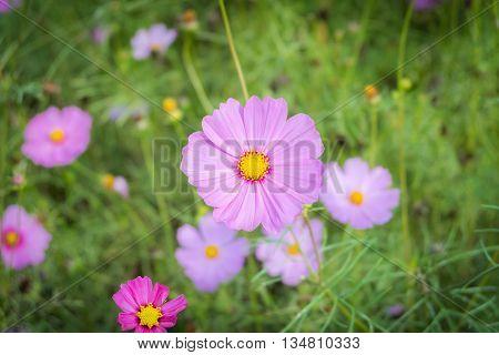 Beautiful Cosmos flowers blooming in the garden