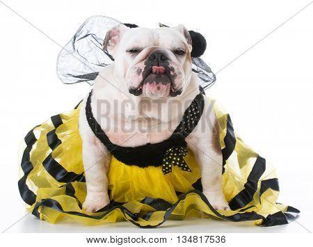 bulldog wearing bumble bee costume on white background