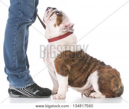 owner teaching english bulldog dog obedience training