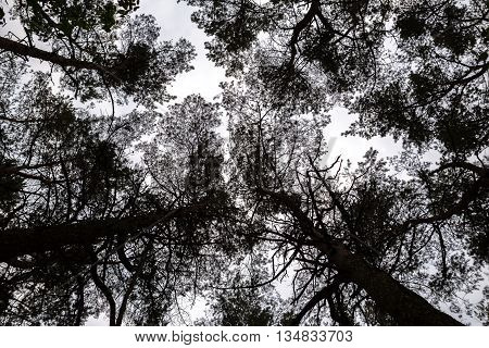 looking up into the treetops of a pine forest