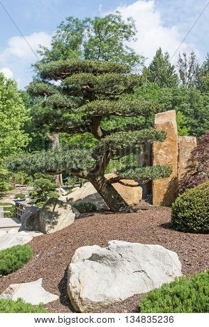 Pine tree in the Japanese garden. Stones are in the foreground. Vertically