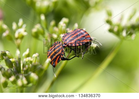 Graphosoma lineatum - black and red striped bug sits on a plant