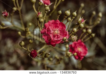 Bright  branch with  rosebud and red rose