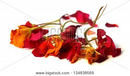 geranium petunia dry delicate flowers and petals of pressed pelargonium isolated on white background scrapbook