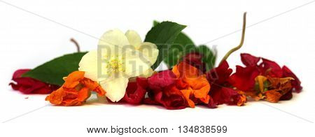 geranium petunia dry delicate flowers leaves and petals of pressed jasmine pelargonium isolated on white background scrapbook