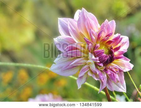 close on beautiful dahlias blooming on green background