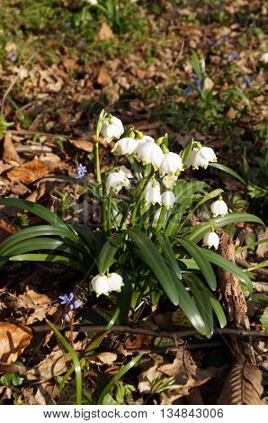 Snowdrops bush with white flowers and long green leaves in spring day