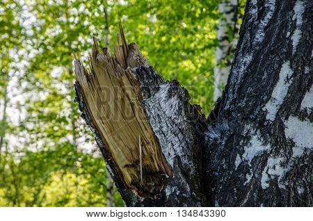 a broken birch. birch forest covered with green foliage . summer landscape . bright and lush green trees . juicy green leaves . on the ground grows juicy green grass .