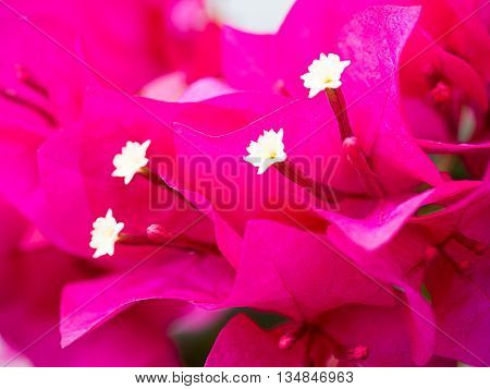 soft focus beauty bougainvillea flowers, pink color