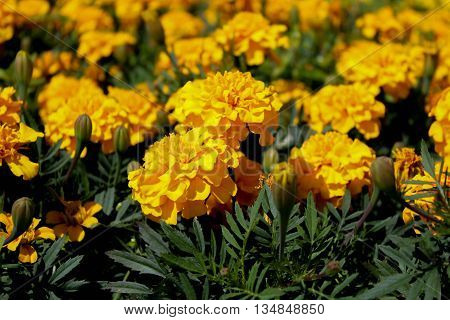 Flowerbed of yellow marigolds in all image