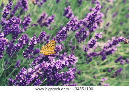 The hay butterfly lavender flower, nature background