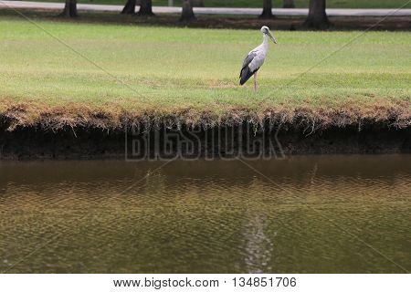 Egret or Pelicans standing on green lawn of public park and Seeking the foods.