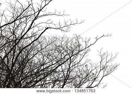 branches of deciduous trees in tropical woodland on the white background.