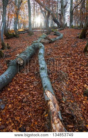 Fallen trees in the dry autumn forest in the Carpathian Mountains.
