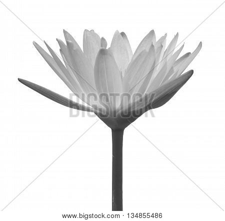 This beautiful waterlily or lotus flower is complimented by the rich colors of the deep blue water surface.