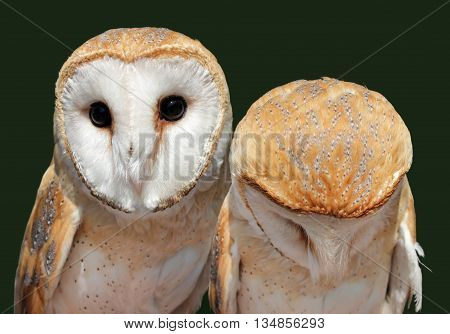 Two beautiful barn owls. The barn owl is the most widely distributed species of owl and one of the most widespread of all birds. Shallow depth selective focus.