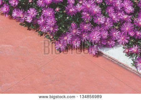 Bush of purple asters sunlit. Flowers and gardens