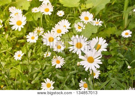 Daisies on a background lawn. Blooming daisies in early summer.