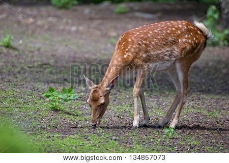 Fallow deer in the forest in the wild