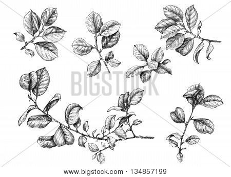 Hand drawn branches with leaves. Sketch of plants.