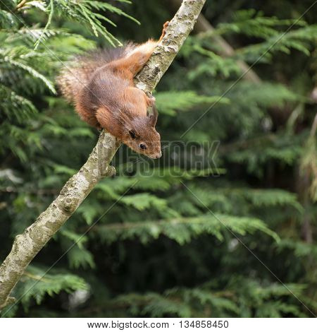 Beautiful Red Squirrel Playing In Tree Trying To Reach Food