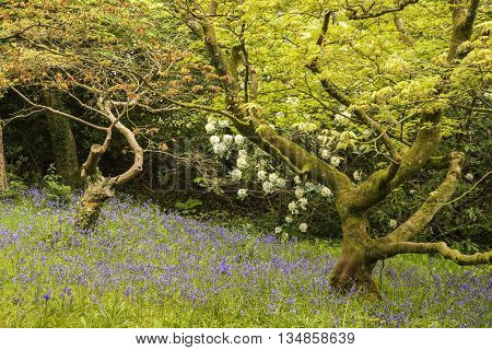 Beautiful Landscape Of Spring Bluebells In Old Woodland Setting