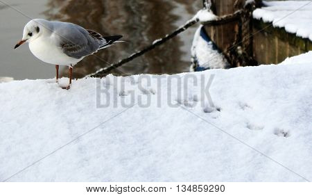 Seagull in the snow by the River Thames Kingston Upon Thames Surrey London England
