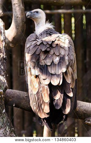 A Big Vulture