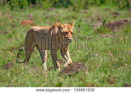 Female lion or Panthera leo  walks in savannah