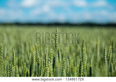 Green Wheat Head In Cultivated Agricultural Field, Early Stag