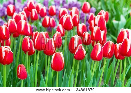 Vibrant colorful  holiday or birthday background with beautiful red and white tulips flowerbed