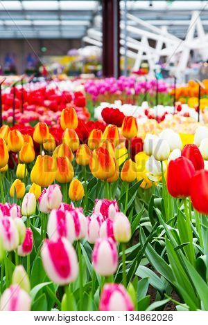 Colorful pavillion with multicolored, red, yellow tulip flowerbed in flower spring garden, Holland
