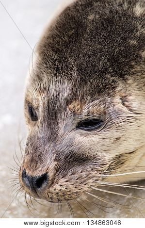 Headshot of a young grey seal pup