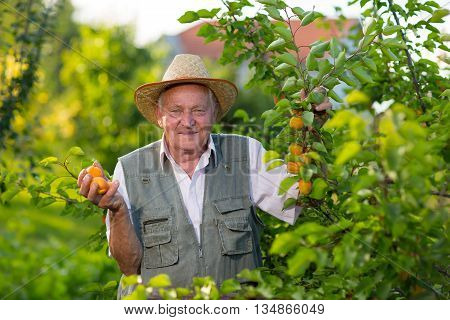 Senior man picking apricots in his orchard