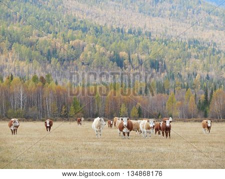 cow is grazing in a pasture in the mountain Altai. summer 2015.