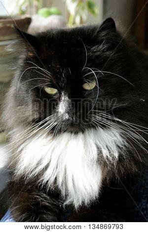 close-up of muzzle of big black cat