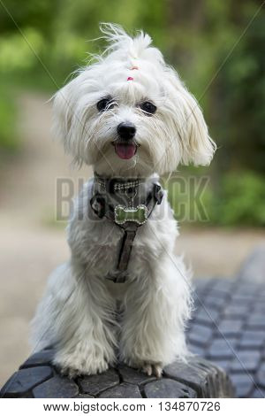 the dog breed maltese bichon is sitting
