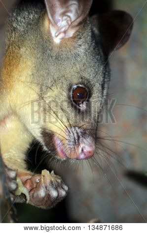 Australian Brushtail Possum (Trichosurus vulpecula) in close-up eating and holding fruit