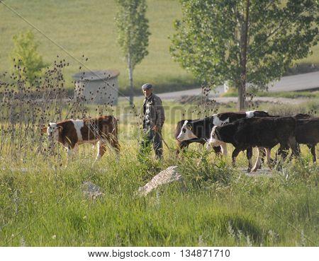 ANKARA/TURKEY-June 5, 2016: Cowhand at the Saray Region with cows. June 5, 2016-Ankara/Turkey