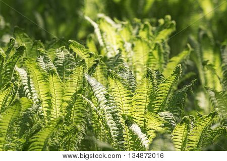 background of green fern leaves in spring